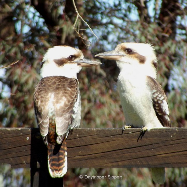Two kookaburras, Yass Valley 2013