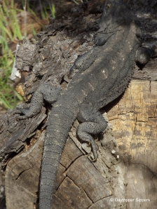 Eastern bearded dragon lizard on pine log