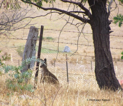Kangaroo joey at the fence