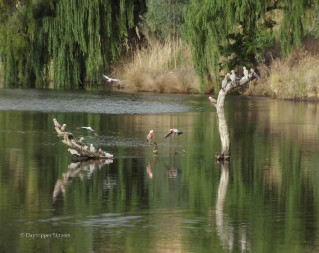 Galahs drinking on the Yass River, Joe O'Connor Park, Yass, New South Wales, Australia