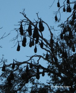 Flying foxes at Parramatta Park, Sydney, Australia